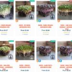 radish microgreen seeds