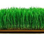 wheatgrass microgreens GMO